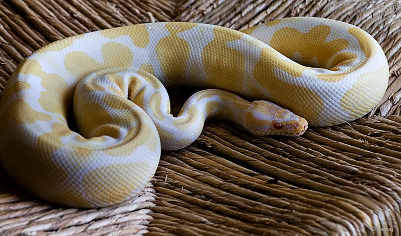 """python regius albino hgti"" maschio riproduttivo"